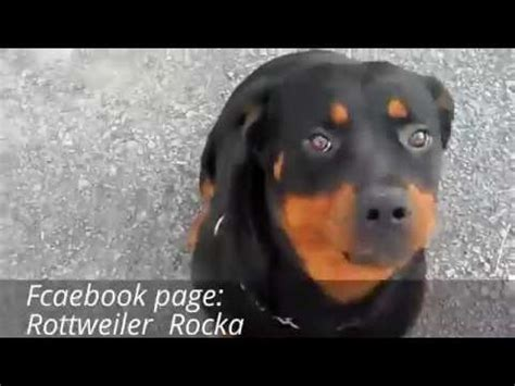 how strong is a rottweilers bite rottweiler funnydog tv
