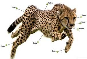 Jaguar Behavioral Adaptations Parkerwiki0910 Adaptations