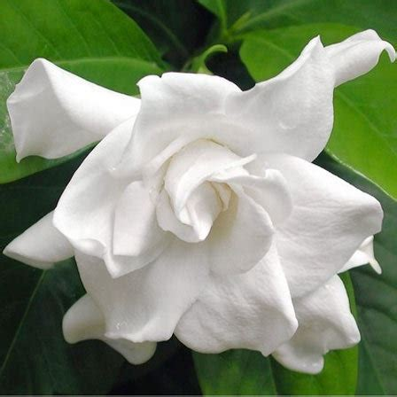 top   beautiful jasmine flowers