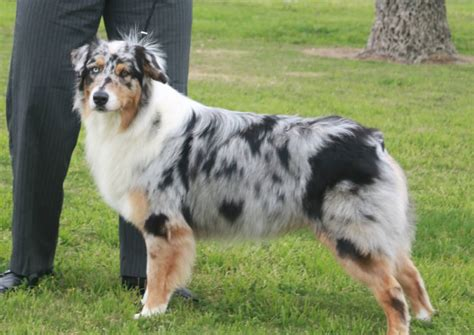 dogs with different colored 55 most beautiful australian shepherd pictures and photos