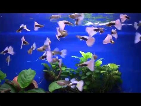 download mp3 from guppy download youtube mp3 151214 hb pastel guppies f1 feeding