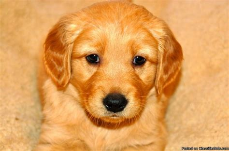 golden retriever puppies price golden retriever puppies for sale price 200 00 in salt lake city utah cannonads