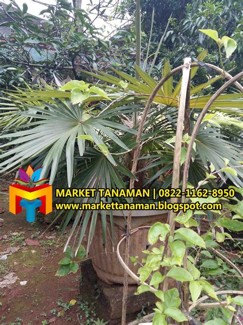 jual pohon palem jenggot murah market tanaman market