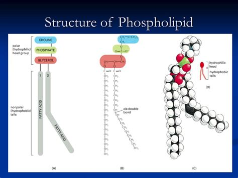 diagram of phospholipid ppt the cell membrane powerpoint presentation id 501873
