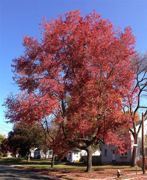 maple tree acer rubrum