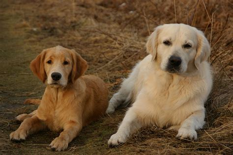 golden mist retrievers golden retriever haustiere lexikon