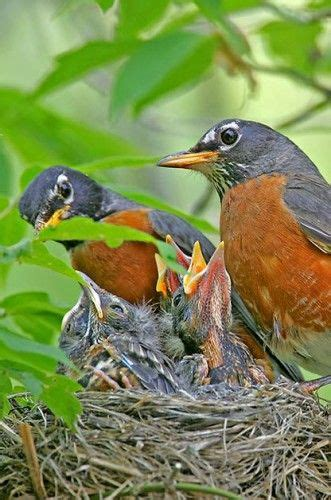 269 best mother bird parent birds feeding their chicks