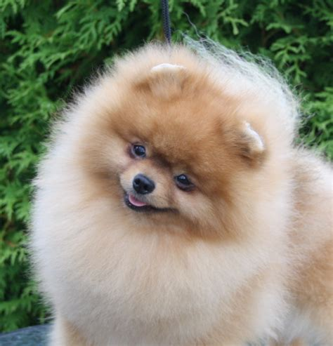 show pomeranian black orange s show pomeranian