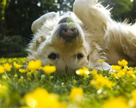 golden retriever flowers 13 breeds matched up to their theme songs barkpost