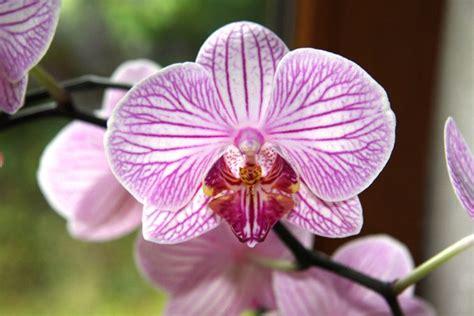 come curare le orchidee in appartamento come si curano le orchidee piante appartamento curare