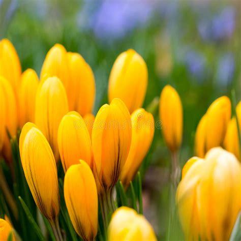 fiori di croco fiore di croco giallo in primavera aiola di croco