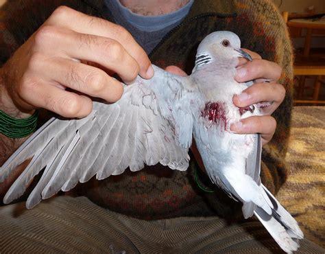 turtledove malta shocking bird slaughter pictures