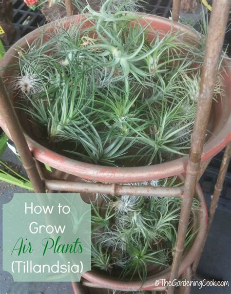 best 25 air plants ideas on pinterest air plant display