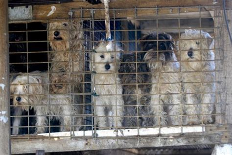missouri puppy mills photos animal cruelty in missouri and rescues from abuse news st louis news