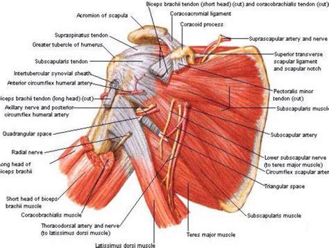 diagram of a shoulder posterior shoulder anatomy posterior shoulder