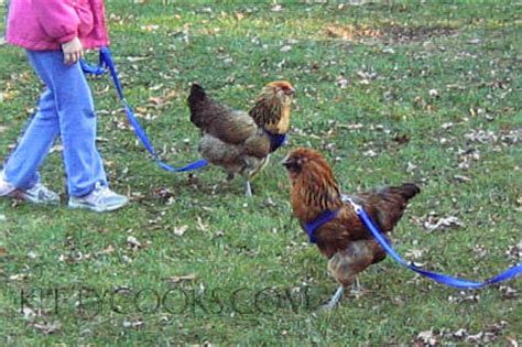 Backyard Chickens Lead Socialize And A Chicken Pet Chicken Care Kittycooks
