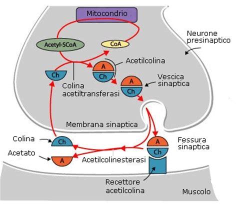 clitoride interno corpo spongioso clitoride fertilitycenter