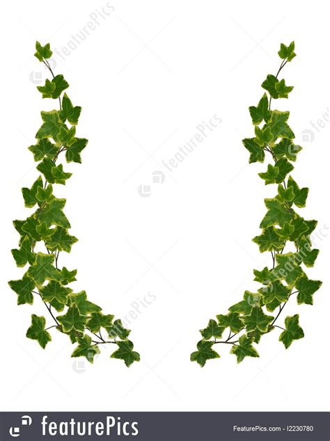 Ivy Border Element Isolated Illustration Leaf Border Template