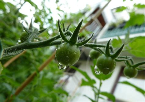 tomaten wann pflanzen wann tomaten pflanzen tomaten pflanzen balkon wann innenr