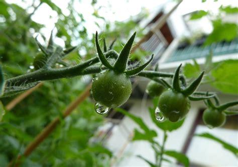 wann kann tomaten pflanzen wann tomaten pflanzen tomaten pflanzen balkon wann innenr