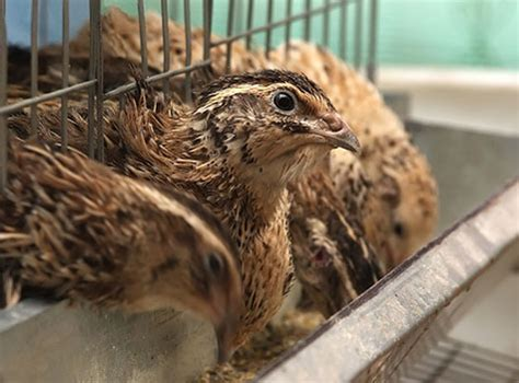 raising japanese quail the poultry site