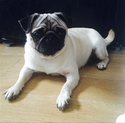 pug adults for sale fawn pug for sale newcastle upon tyne tyne and wear pets4homes