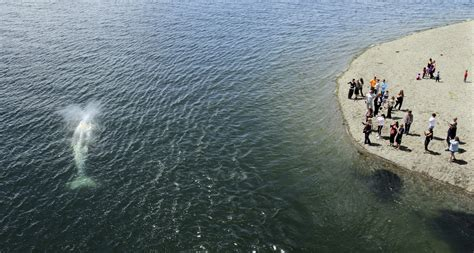 Seattle Number Search Gray Whale Makes Its Way Out Of Shallow Burley Lagoon The Today File Seattle Times
