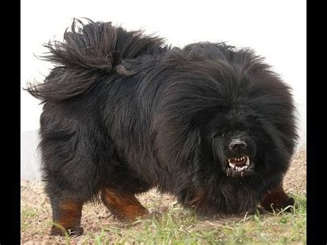 most vicious dogs top 10 most dangerous breeds most aggressive breeds 2014