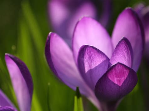 photography blog crocus flower