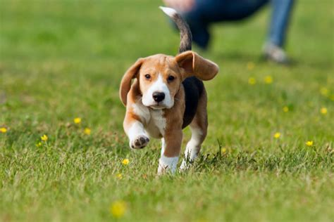 puppy to come tips for getting your to come to you every time you call american kennel club