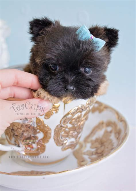 teacup morkie puppies for sale morkie puppies and designer breed puppies for sale by teacups puppies teacups