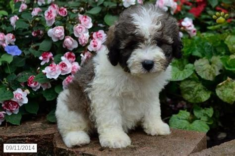 puppy finder ohio 31 best images about havapoo on poodles search and poodle mix