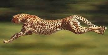 Jaguars Running Cheetah World S Fastest Runner Animal Pictures And