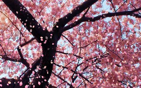 japanese cherry blossom tree tokyo 2020 amwf couple