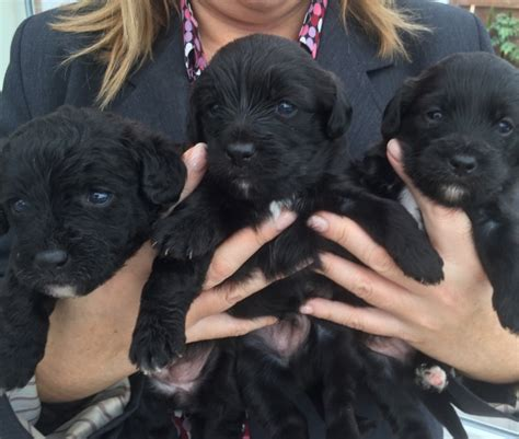 jackapoo puppies for sale jackapoo puppies for sale stockton on tees county durham pets4homes