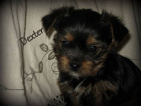 7 week yorkie puppies adorable yorkie puppies 7 weeks puppies that r 2 pinte