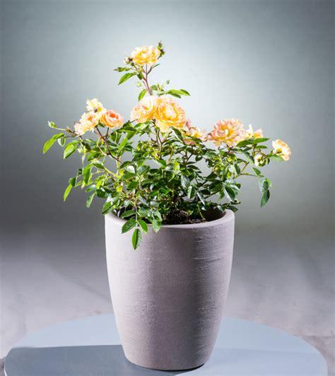 Kübelpflanzen by Bodendeckerrose Bessy Rosa Bessy G 195 188 Nstig Kaufen