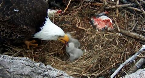 alcoa s eagles welcome a second eaglet