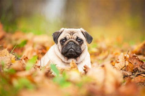 characteristics of pugs puggle pug beagle breed profile and information 2018 edition