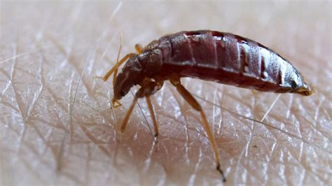 ddt bed bugs how to get rid of bed bugs without pesticides