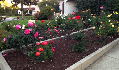 jardines con rosales reina en un jard 237 n de rosas la chica de las burbujas