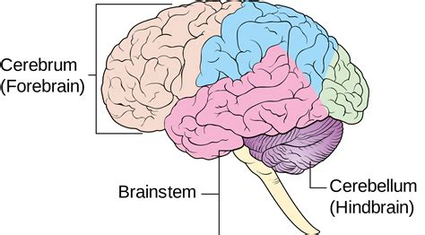 Brain Diagram No Labels Nivoteamfo