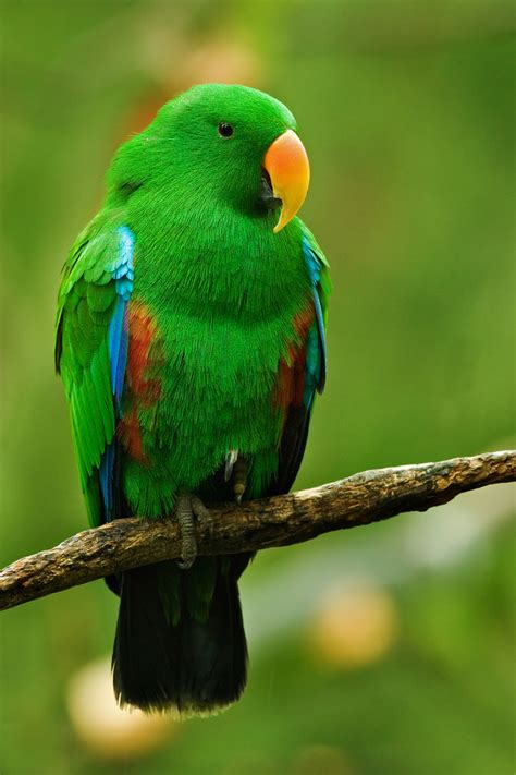 file male eclectus parrot jpg wikipedia