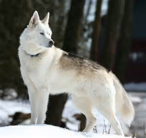 are wolves dogs wolf hybrid puppies