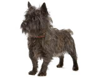 brindle cairn haircut cairn terrier grooming dog clipping grooming cairn
