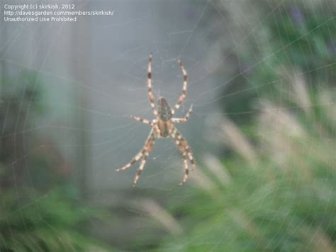 Garden Spider Pacific Northwest Insect And Spider Identification Closed Spider Id