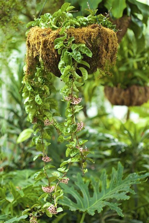 fertilizing  wax plant     feed  hoya plant