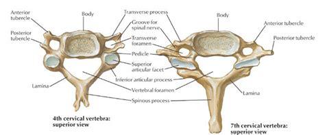 diagram of cervical spine cervical vertebrae