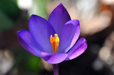Plant Vase Free Photo Crocus Flower Blossom Bloom Free Image On