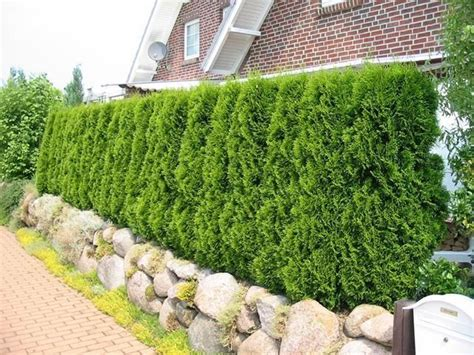 fast growing climbing plants for fences thuja occidentalis smaragd garden hedges